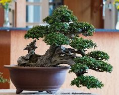 My Bonsai Obsession: Carving a Big Olive Tree
