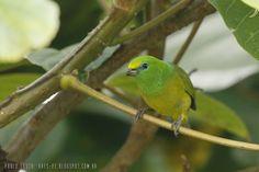 mis fotos de aves: Chlorophonia cyanea Tangará bonito Blue-naped Chlo...