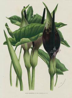 Arum dioscoridis from 1845 Louis Van Houtte Flores de Serres Beautiful Leaved Prints Nature Illustration, Botanical Illustration, Flower Illustrations, Botanical Drawings, Botanical Prints, Impressions Botaniques, Illustration Botanique, Plant Art, Rare Flowers