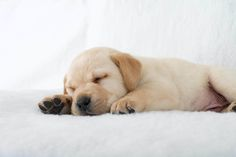 Pfotentick – Hundefotografie & schöne Dinge für Hunde und Besitzer #pfotentick #labrador #yellowlab #retriever #welpe #puppy #dog #photography