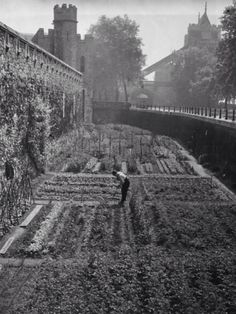 Dig for victory: vegetable growing during WWII in pics A gardener tending the vegetables growing in a moat at the Tower of London, June London History, British History, Uk History, Asian History, Tudor History, Modern History, Local History, History Facts, Vintage London