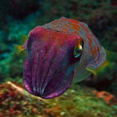 Beautifully coloured cuttlefish my fav in the world!!