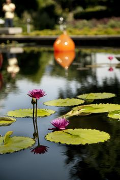 Tropical water lilies are blooming in our central axis!