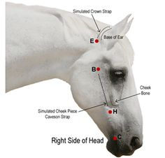 How To Measure Your Horse for Individual Bridle Parts: JustBridles.com