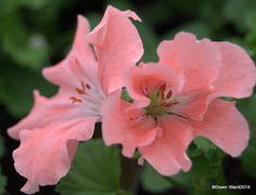"""PERFECT PELARGONIUMS: Regal Pelargonium """"Georgia Peach"""""""