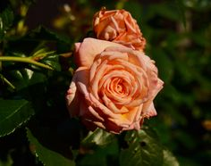 Barock roses