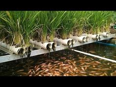 how to plant aquaponic rice .by menanam padi aquaponik) Hydroponic Fish Tank, Organic Hydroponics, Hydroponic Farming, Aquaponics Greenhouse, Hydroponics System, Permaculture, Rooftop Garden, Indoor Garden, Agriculture