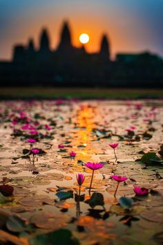 Location: Angkor, Siem Reap, Cambodia every morning at sunrise, the lotus flowers bloom as the sun rises over the Angkor Wat temple. A breath-taking scenery i'll never forget. What A Wonderful World, Beautiful World, Beautiful Places, Beautiful Sunset, The Places Youll Go, Places To See, Fuerza Natural, Angkor Wat Cambodia, Battambang