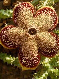 Edithcolea grandis - Flower | Star Flower | Pinterest