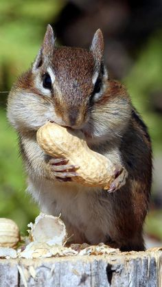 This is how I look at the moment from my wisdom teeth surgery . Although sadly not as cute as this little bugger Animals And Pets, Baby Animals, Funny Animals, Cute Animals, All Gods Creatures, Chipmunks, Samsung Galaxy S4, My Animal, Pet Birds