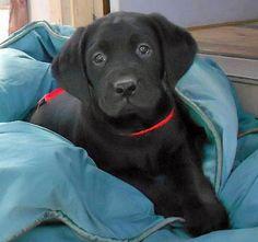 Calvin the Labrador Retriever-Hansome little man!