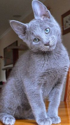 Russian Blue cats are best described as intelligent,active and robust cat breeds.Russian Blues love to play and likes to spend their time with their owners.Russian Blue cats are very easily to groom. Cute Kittens, Cats And Kittens, Ragdoll Kittens, Tabby Cats, Bengal Cats, I Love Cats, Cool Cats, Gatos Cats, Photo Chat