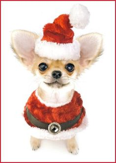 Santa Paws Chihuahua: don't worry Brady grandma got this!