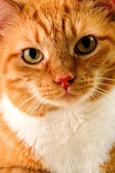 """""""Cat: A Pygmy lion that hates dogs, loves mice, and patronizes human beings."""" --Oliver Herford"""