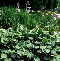 francee-hosta-purple-flowers-562666cc Shade Garden Plants, Hosta Plants, Shade Perennials, Astilbe Flower, Hosta Flower, Growing Flowers, Planting Flowers, Coral Bells Plant, Home