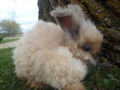 angorarabbits   Tail Spin Farm Shop: English Angora Rabbits For Sale