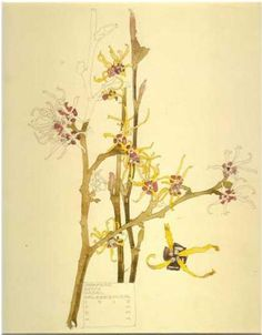 Charles Rennie Mackintosh Japanese Witch Hazel, Walberswick, 1915 Japanese Witch Hazel (Hamamelis japonica) is grown for its winter display of flowers. The detached flower is shown at an enlarged scale to the rest of the drawing. The cartouche box. Illustration Botanique, Art Et Illustration, Botanical Illustration, Illustrations, Charles Rennie Mackintosh, Botanical Drawings, Botanical Prints, Flower Drawings, Motif Floral