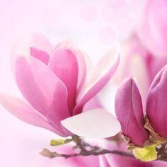 Magnolia Fragrance Oil #fragranceoil #fragranceoils #fragrance