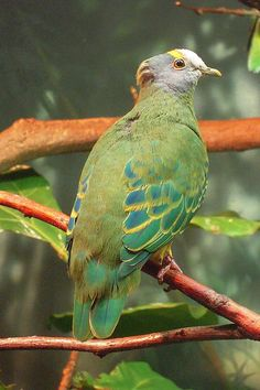 Coroneted Fruit Dove (Ptilinopus coronulatus)