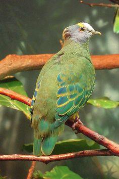 Pomba coroneted do fruto ( Ptilinopus coronulatus)