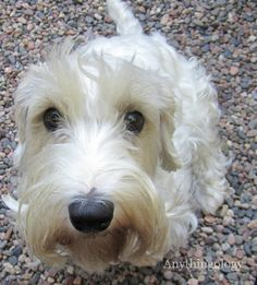 Anythingology: Piper the Sealyham Terrier