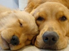 Golden Retriever Puppy And Mom http://cute-overload.tumblr.com