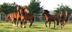PAARD IN SPANJE VAN STATUSSYMBOOL NAAR SLACHTVEE | Paarden worden tegenwoordig massaal gedumpt in Spanje, omdat de eigenaars de verzorgingskosten niet meer kunnen opbrengen. Een groot gedeelte eindigt in het abattoir. Wat eens de status van de eigenaars moest verhogen wordt nu als slachtvee afgevoerd.