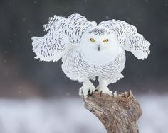 "beautiful-wildlife: "" Snowy Owl by Dara Lork """