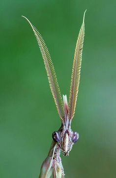 — The majestic Conehead mantis, Empusa pennata. — The majestic Conehead mantis, Empusa pennata. Cool Insects, Bugs And Insects, Weird Creatures, All Gods Creatures, Beautiful Creatures, Animals Beautiful, Cool Bugs, Scary Bugs, Scary Alien