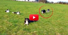 Watching These Border Collies Sneak Up On Each Other Is Sure To Make You Laugh. Just Wait Until 1:35! | The Animal Rescue Site Blog #bordercollie