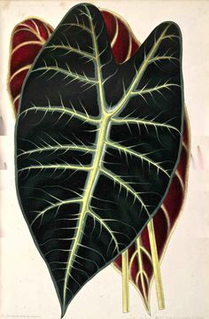 Alocasia longiloba L'illustration Horticole From the Swallowtail Garden Seeds collection of botanical photographs and illustrations. Elephant Ear Plant, Elephant Ears, Plant Illustration, Flower Illustrations, Anna, Garden Seeds, Love Flowers, Flower Art, Illustrators