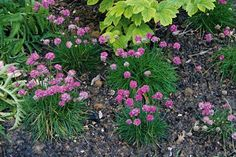 Splendens Sea Pink - evergreen perennial - planted today in my garden