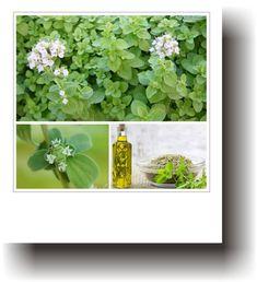 Plante medicinale – MAGHIRAN Parsley, Herbs, Plant, Life, Herb, Medicinal Plants