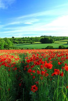 Red poppy field and blue skies.