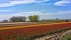 Tulpenvelden Meerdonk  Foto wimvanmele