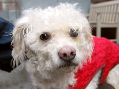 SAFE 03/16/15 --- TO BE DESTROYED - 03/16/15 Manhattan Center -P  My name is TJ. My Animal ID # is A1029979. I am a male white poodle min. The shelter thinks I am about 8 YEARS old.  I came in the shelter as a STRAY on 03/10/2015 from NY 11377, owner surrender reason stated was STRAY.  https://www.facebook.com/photo.php?fbid=977723942240485