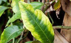 Sick citrus leaf