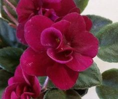 african violet precious red the best red mini you will find