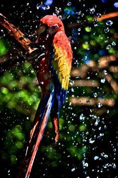 Scarlet Macaw, El Salvador