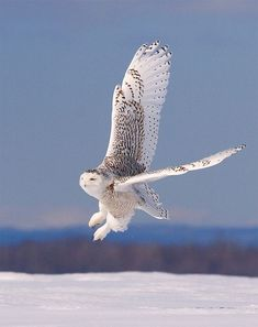Snowy owl . Awsome specie that is worth saving . Are these found as far south as Chesapeake Bay geography ?