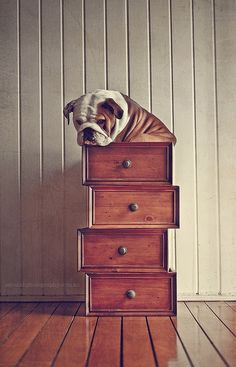 """A bulldog's take on the cat classic, """"If it fits, I sits"""". #dogs #cute #bulldogs #animals"""