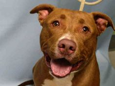 Brooklyn Center JAKE – A1047593 NEUTERED MALE, BROWN / WHITE, PIT BULL MIX, 1 yr, 6 mos OWNER SUR – EVALUATE, NO HOLD Reason PERS PROB Intake condition EXAM REQ Intake Date 08/12/2015