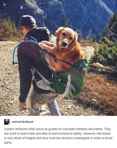 Golden Retriever in a Backpack. This is so adorable!!