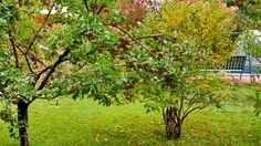 Backyard Ideas for Beauty, Fun, Family and Entertaining - Another lovely apple tree, planted at the rear of the property. Pear Trees, Fruit Trees, Trees To Plant, Different Fruits, Variety Of Fruits, Types Of Fruit, Growing Tree, Apple Tree, Flowering Trees