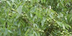 Ořechovka: Recept na svatojánský likér krok za krokem Vodka, Drinking, Plants, Beverage, Drink, Plant, Planets, Drinks