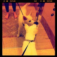 #Husky puppy on an elevator :)