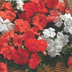 Xtreme Orange Parfait Mix Impatiens - Annual Flower