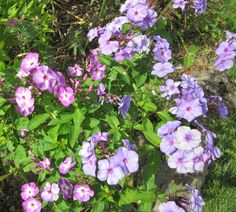 Cold fall weather turned the violet-pink flowers blue