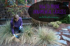 Most of us know what to do with our big grasses that go dormant each winter: Grab a bungee cord, tie the grass up, and use an electric hedge trimmer to buzz the column of foliage to the ground. But what about those tricky grasses that are evergreen or ones that have a ground-hugging habit? …