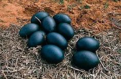 Emu (Dromaius novaehollandiae) eggs in a nest. The chicks are incubated and raised by the male emu. Emu Egg, Fancy Chickens, Black Chickens, Egg Nest, Australian Birds, Science Photos, Chicken Breeds, Wild Birds, Bird Feathers